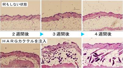 動物実験における皮膚の断面での比較